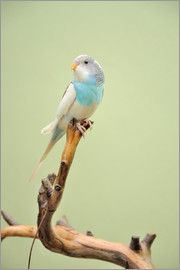 budgie resting on a branch