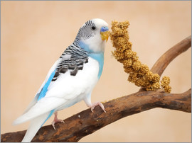 Budgerigar on branch eating millet