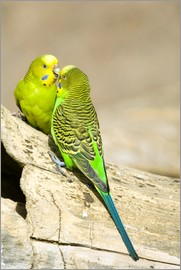 Trish Drury - Budgerigars