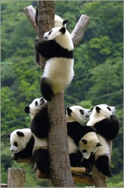 Pete Oxford - Flock of wild panda babies on the climbing tree