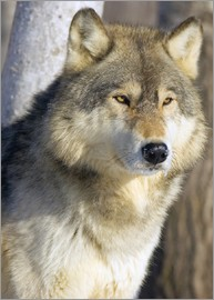 John Pitcher - Timber Wolf