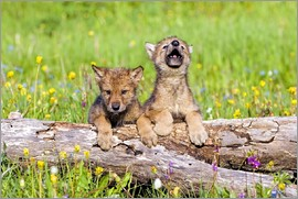 John Pitcher - Wolf Cubs On Log