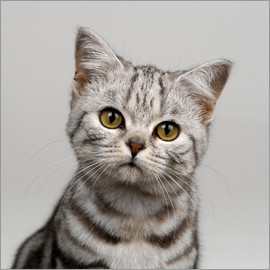Simon Murrell - Young silver tabby cat