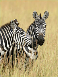 Zebra friendship