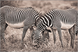David DuChemin - Two Zebras Grazing Together