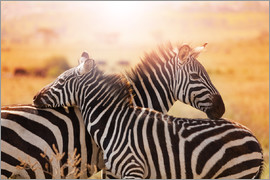 Zebra with its foal, Kenya