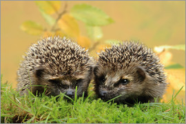 Uwe Fuchs - two little hedgehog