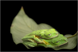 Joel Sartore - Two lemur leaf frogs