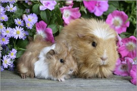 Greg Cuddiford - Two guinea pigs
