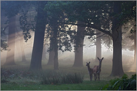 Alex Saberi - Two red deer, Cervus elaphus, on a foggy clearing