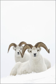 Milo Burcham - Two sheep in Kluane National Park
