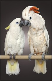 Greg Cuddiford - Two white parrots