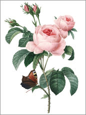 Wall Stickers  Rose of a Hundred Petals - Pierre Joseph Redouté