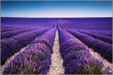 Gallery Print  Lavender field in Provence - Matteo Colombo