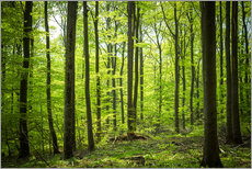 Gallery Print  Fresh Green - Beech forest in Harz - Oliver Henze