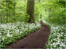 Gallery print  Path through the Forest full of Wild Garlic - Andreas Wonisch