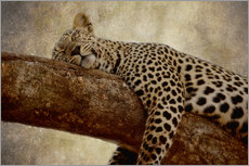 Gallery print  Sleeping leopard - Thomas Herzog