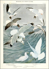 Wall sticker  Gulls & Kittiwake - Louis Agassi Fuertes