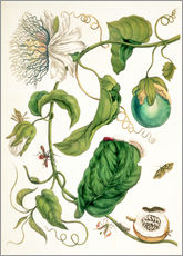 Gallery print  Passion flower and insects - Maria Sibylla Merian
