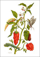 Gallery print  Peppers and insects - Maria Sibylla Merian