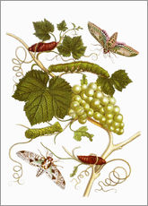 Gallery Print  Vine and moths - Maria Sibylla Merian