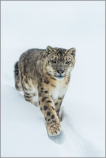 Wall sticker  Snow Leopard in deep snow - Ingo Gerlach