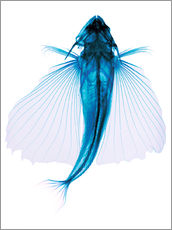 Gallery Print  Flying fish, X-ray - D. Roberts