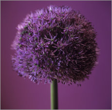 Wall sticker  Allium flower - Cristina Pedrazzini
