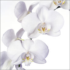 Wall Stickers  Orchid flowers - Johnny Greig