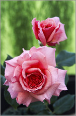 Gallery print  Rose flowers (Rosa 'Aloha') - Archie Young