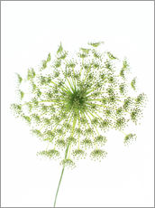 Wall Stickers  Dill (Anethum graveolens) - GAVIN KINGCOME