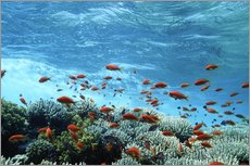 Gallery Print  Lyretail anthias and corals - Georgette Douwma