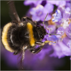 Gallery print  Bumble bee collecting pollen - Power and Syred
