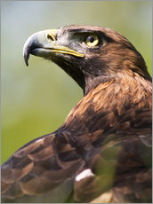 Gallery print  Golden eagle - Denise Swanson