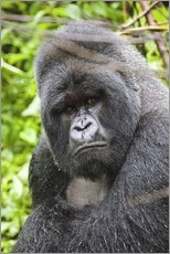 Gallery print  Mountain gorilla - Peter J. Raymond