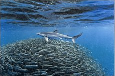 Gallery print  Hai with jack fish - Christopher Swann