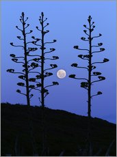 Wall sticker  Full Moon and agave trees - Luis Argerich