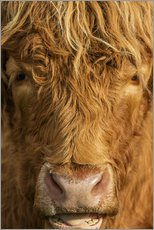 Wall sticker  Highland cattle - Simon Booth