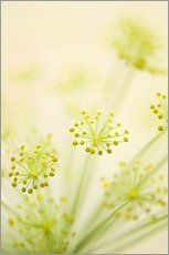 Gallery print  Dill (Anethum graveolens) - Maria Mosolova