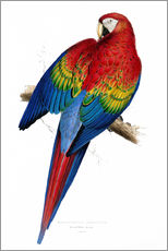 Gallery print  Red & Yellow Macaw - Edward Lear
