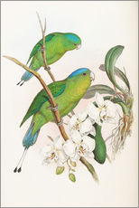 Gallery print  Philippine Racket tailed Parrot - John Gould
