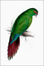 Wall sticker  Long billed Parakeet Macaw - Edward Lear