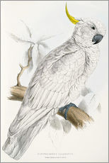 Wall sticker  Sulphur crested Cockatoo - Edward Lear