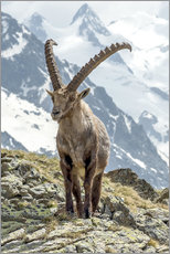 Wall sticker  Alpine Ibex - Olaf Protze