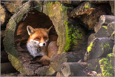 Cees Ginkel - Fox in a hollow trunk