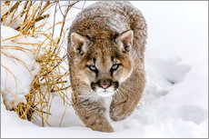 Gallery print  Sneaky Cougar - Mike Centioli
