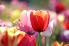 Wall sticker  Beautiful colorful Tulips - Lichtspielart