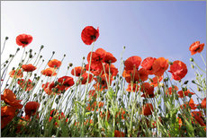 Gallery Print  Poppies low Angle View - Lichtspielart