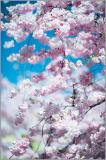 Wall sticker  Cherry blossom in spring - Peter Wey
