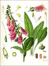 Wall sticker  Foxglove - Carl Axel Magnus Lindman